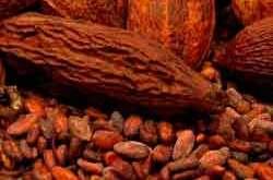 Standar Mutu Biji Kakao [Cokelat]